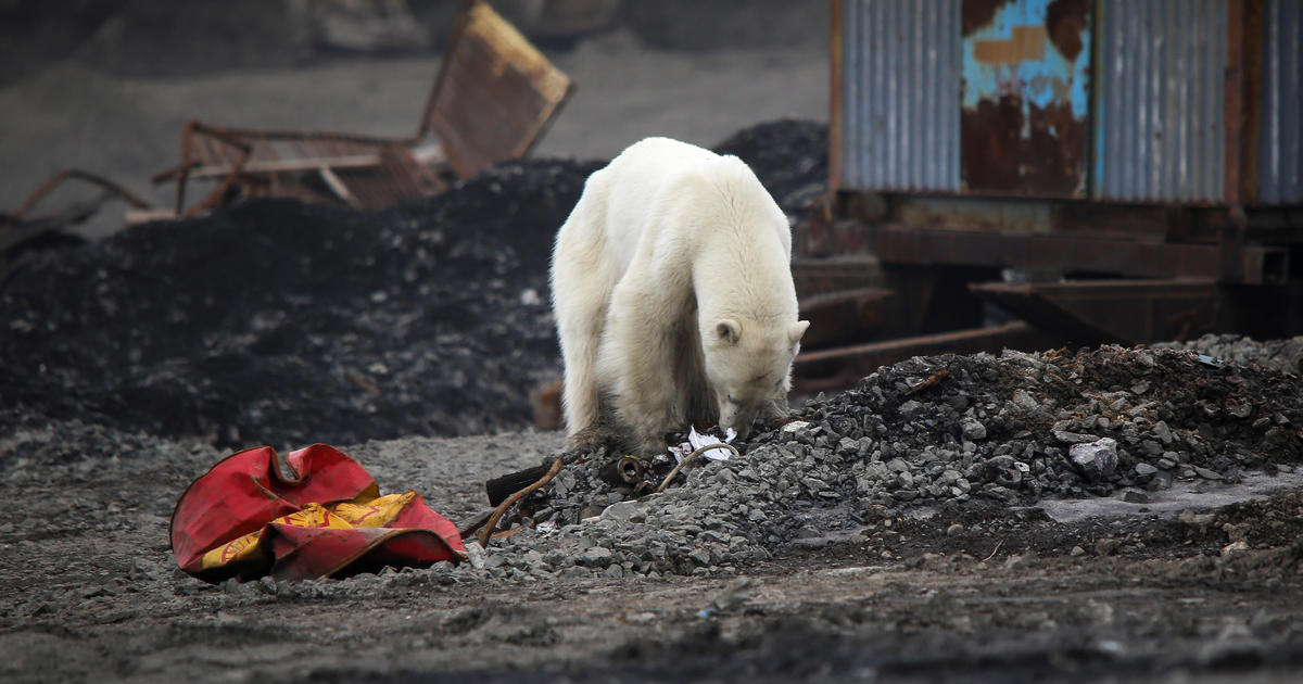 Polar bears could be wiped outby end of century