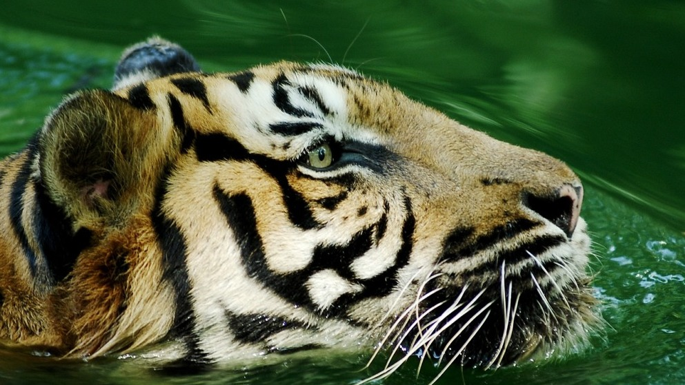 Tiger At Bronx Zoo Falls Victim To COVID-19—Will Other Animal Species Follow?