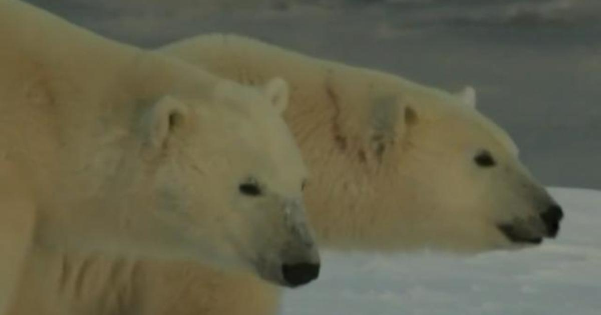 Polar bears could go extinct due to climate change, study warns