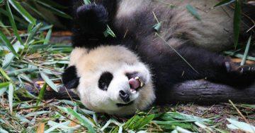 Know My Name, Giant Panda