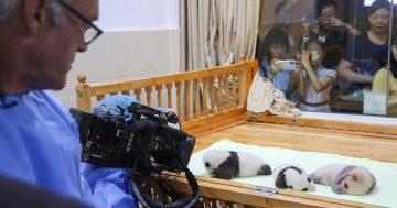 Raising baby pandas in captivity