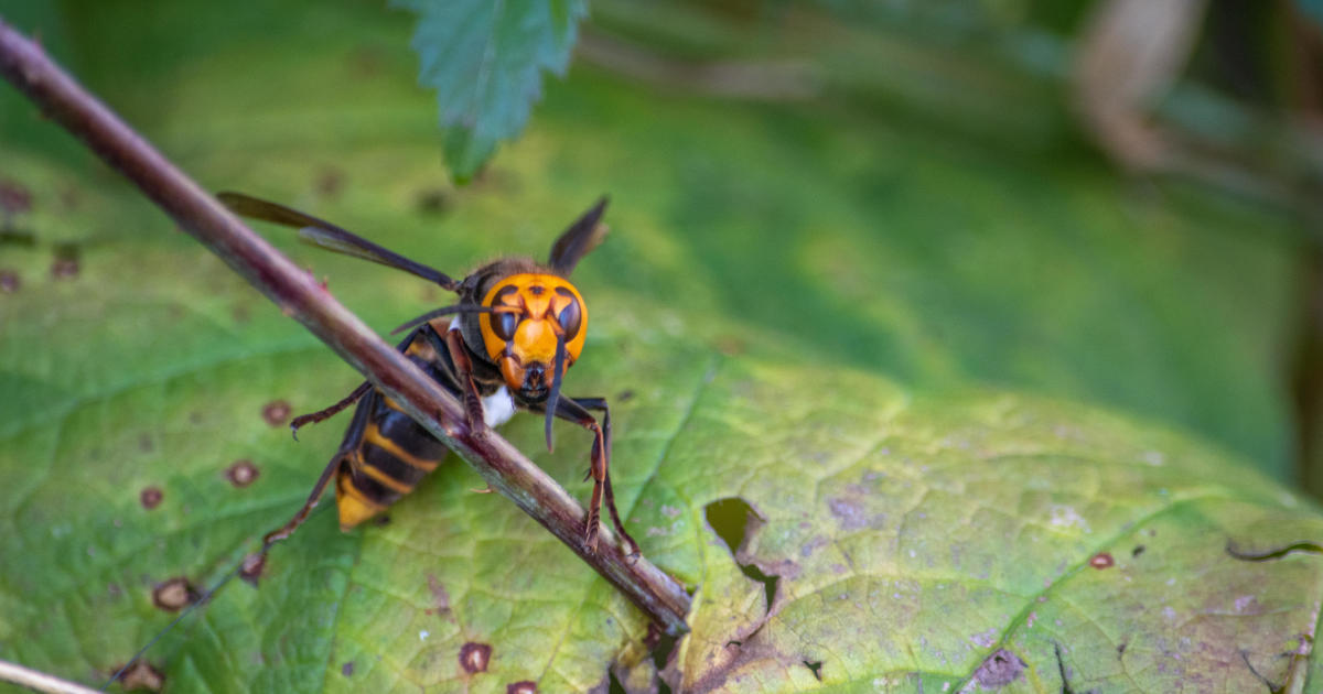 """Scientists find first-ever """"murder hornet"""" nest in the U.S."""