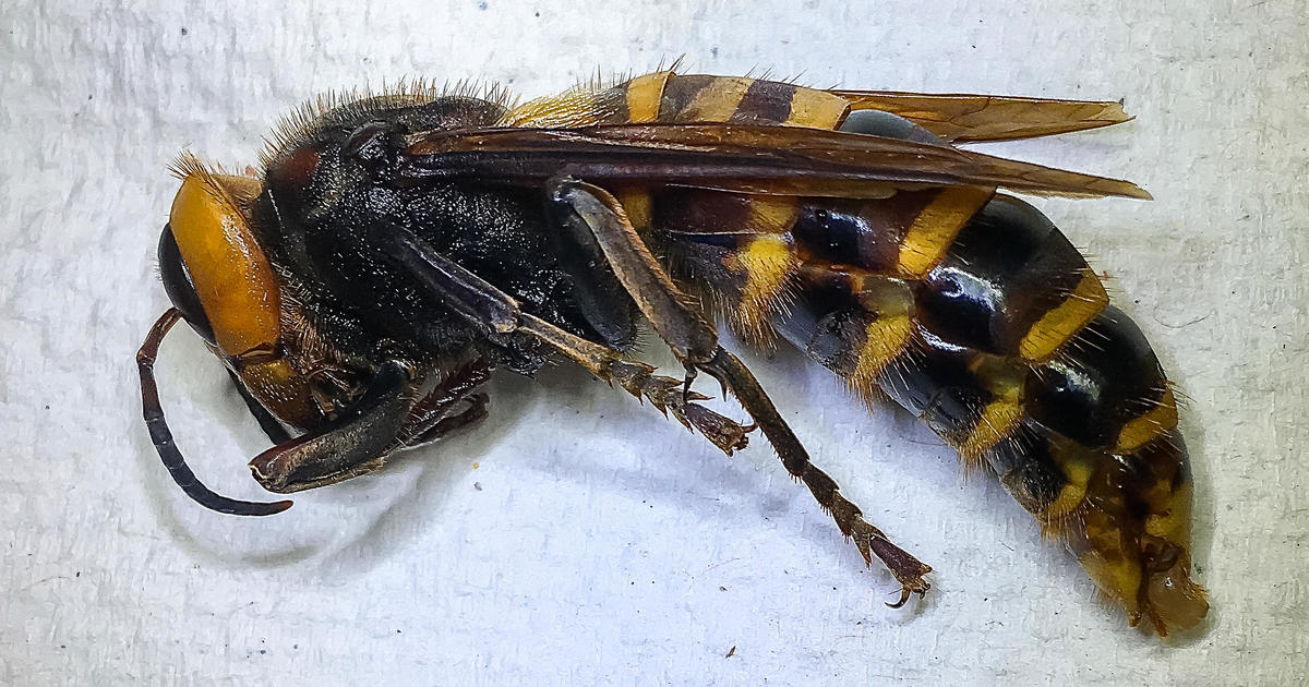 """More """"murder hornet"""" sightings prompt search for nest"""