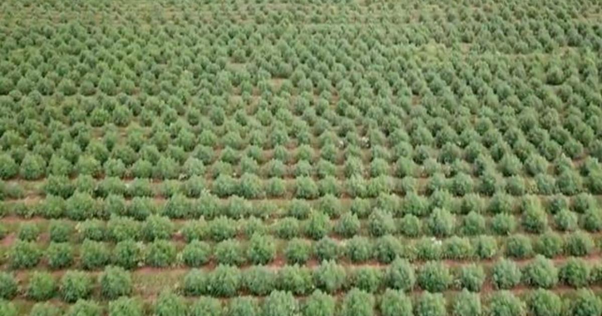 Can farming hemp help fight climate change?