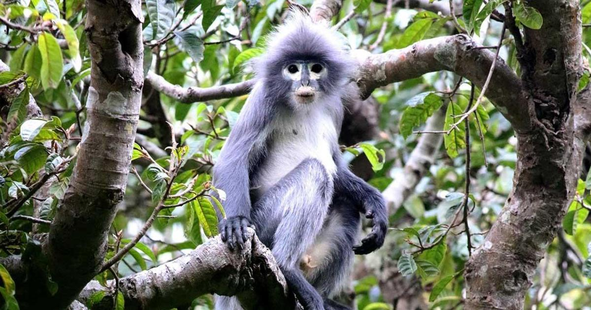 "Newly discovered endangered primate is ""already facing extinction"""