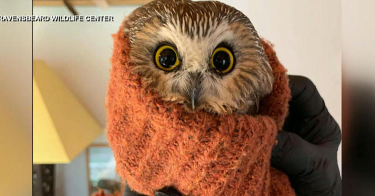 Displaced owl found in Rockefeller Christmas could take flight as soon as Monday