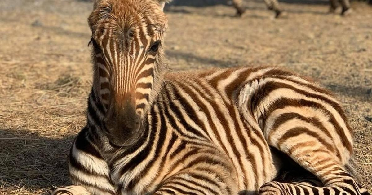 Zebra's death believed to be caused by fireworks